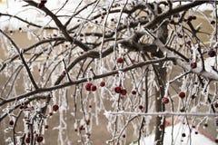 樱桃在与树冰的冬天 库存图片
