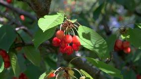 樱桃在庭院里 股票录像