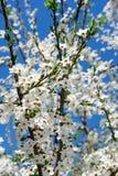 樱桃在春天的花开花 库存图片