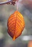 樱桃在树的秋天叶子特写镜头在初期早晨 库存照片