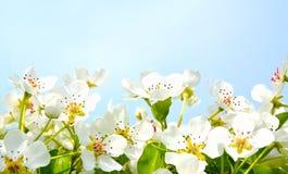 樱桃在蓝天背景的苹果开花 库存图片