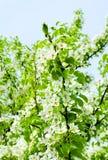 樱桃在蓝天背景的苹果开花 图库摄影