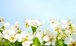樱桃在蓝天背景的苹果开花 免版税库存照片