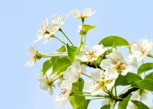 樱桃在蓝天背景的苹果开花 免版税库存图片