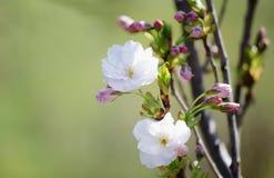樱桃在绿色背景的佐仓开花 库存图片