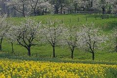 樱桃域强奸春天结构树 库存照片