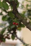 樱桃对 库存图片