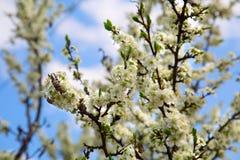 樱桃庭院的开花的分支 库存照片