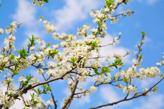 樱桃庭院的开花的分支 库存图片