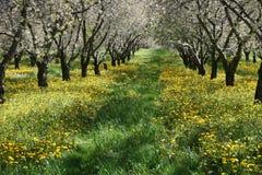 樱桃庭院结构树 库存图片