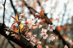 樱桃开花佐仓 图库摄影