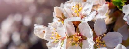 樱桃开花开花东方白色反对与阳光射线宏指令射击的背景蓝天 库存图片