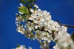 樱桃开花开花在清楚的蓝天的春天 季节性花卉背景 库存图片