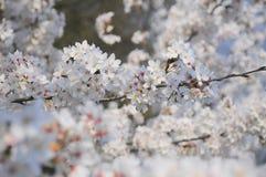 樱桃开花春天结构树白色 库存图片