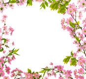 樱桃开花框架查出的桃红色结构树 免版税库存照片
