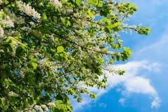 樱桃开花的分支  免版税库存照片