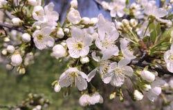 樱桃开花的季节纯净背景天室外明亮的植物学装饰 免版税库存图片