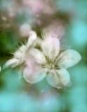 樱桃开花的春天结构树 库存照片
