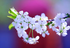 樱桃开花的树白色 库存照片