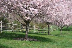樱桃开花的树 库存图片