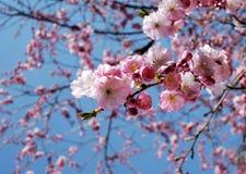 樱桃开花的桃红色结构树 免版税库存图片