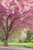 樱桃开花的桃红色结构树 免版税库存照片