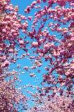樱桃开花的桃红色结构树 免版税图库摄影