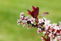 樱桃开花的沙子结构树 免版税库存照片