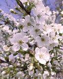樱桃开花的秀丽纯净植物群背景天室外明亮的植物学装饰 库存照片