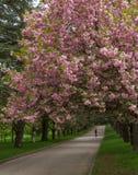 樱桃开花的胡同  图库摄影