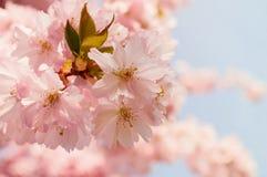 樱桃开花粉红色 春天开花 1个背景覆盖多云天空 免版税库存图片