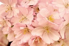 樱桃开花粉红色 春天开花 免版税库存图片