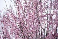 樱桃开花粉红色 库存图片