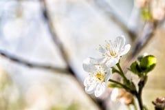 樱桃开花结构树 免版税库存图片