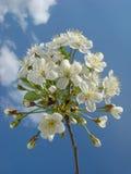 樱桃开花结构树 免版税图库摄影