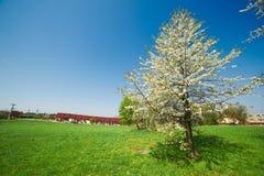 樱桃开花通配的结构树 库存照片