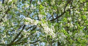 樱桃开花 在树的白色开花 E 股票录像