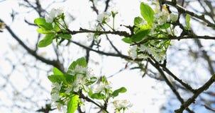 樱桃开花 在树的白色开花 E 股票视频