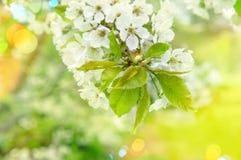 樱桃开花 晴朗的日 与轻的泄漏的春天花 免版税库存照片