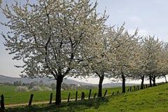 樱桃德国下部萨克森地区春天结构树 免版税库存照片
