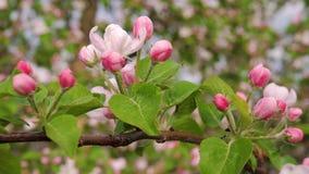 樱桃或苹果树的特写镜头开花的白色桃红色花 股票录像