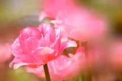 樱桃接近的花园红色春天郁金香上升白色 库存照片