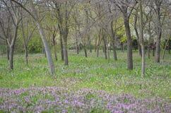 樱桃接近的花园红色春天郁金香上升白色 免版税库存照片