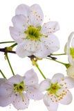 樱桃接近的花结构树 免版税库存图片