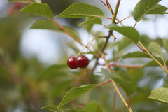樱桃新鲜成熟 免版税图库摄影