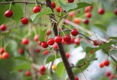 樱桃新鲜成熟 图库摄影