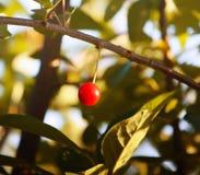 樱桃新鲜成熟 库存图片