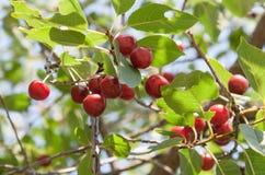 樱桃新鲜的浆果在工厂的 库存图片