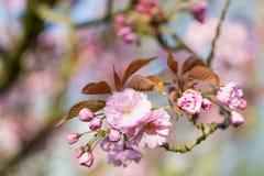 樱桃日本佐仓结构树 库存图片