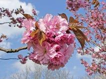 樱桃日本李属春天结构树 免版税库存图片